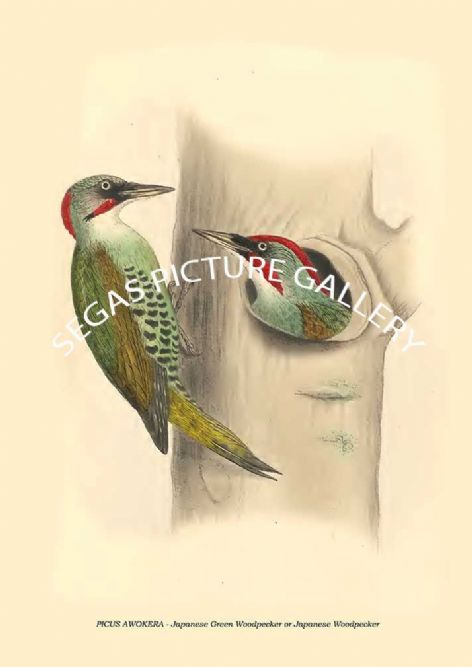 Fine art print of the PICUS AWOKERA - Japanese Green Woodpecker or Japanese Woodpecker by Philipp Franz Balthasar von Siebold (1850)